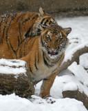 Malayan Tiger Cubs IMGP4492.jpg