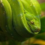 Green Tree Python IMGP4565.jpg