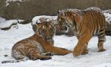 Malayan Tiger Cubs IMGP4486.jpg