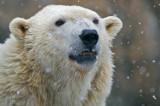 Polar Bear IMGP0750.jpg