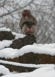 Japanese Macaque IMGP0994a.jpg