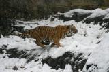 Malayan Tiger IMGP0826a.jpg