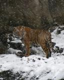 Malayan Tiger IMGP0802a.jpg