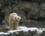Polar Bear IMGP0754a.jpg