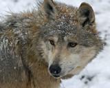 Mexican Wolf IMGP0733.jpg