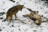 Mexican Wolves IMGP0687.jpg