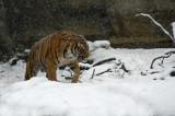 Malayan Tiger IMGP0836a.jpg