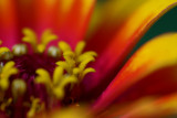 Colors of a Zinnia IMGP5951.jpg