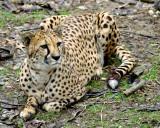 Cheetah IMGP0232.jpg