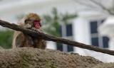 Japanese Macaque IMGP0172.jpg