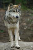 Mexican Wolf IMGP0253.jpg