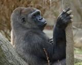 Silverback Gorilla IMGP0167.jpg