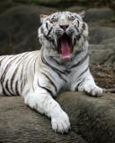 White Bengal Tiger IMGP0219.jpg