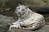 White Bengal Tiger IMGP0241.jpg