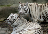 White Bengal Tigers IMGP0239.jpg