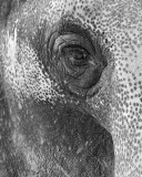 Elephant Eye IMGP0204.jpg
