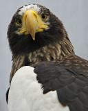 Sea Eagle Heavy Crop IMGP0205.jpg