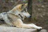Mexican Wolf IMGP0248.jpg