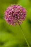 Pink Bloom IMGP2709.jpg