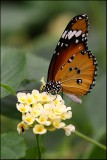 Plain Tiger / Africal Monarch