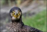 In New Zealand Cormorants are known as Shags.