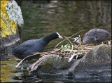 Coot feeding her baby