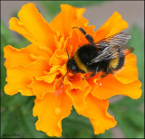 Bumble Bee on the Marigold
