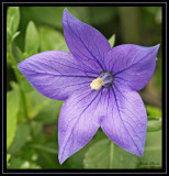 Platycodon - a new flower for me