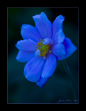 Japanese Anemone in Blue