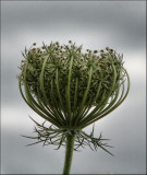 Carrot Weed / Queen Annes Lace