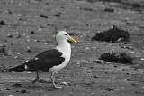 Black Backed Gull Striding out