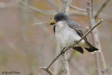 Eastern Kingbird 3