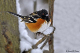 Spotted Towhee 1