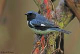 Black-throated Blue 1