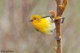 Prothonotary Warbler 3