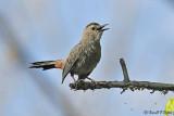 Gray Catbird 1