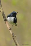 Black - throated Blue Warbler 2