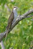 Black -billed Cuckoo 1