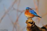 Eastern Bluebird 7