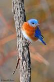 Eastern Bluebird 8