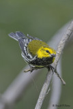 Black - throated Green Warbler 1