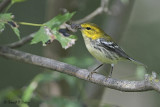 Black - throated Green Warbler 2