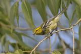 Black - throated Green Warbler 4