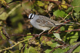White - crowned Sparrow  1