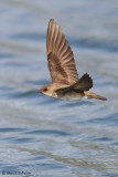 Northern Rough - winged Swallow  1