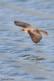 Northern Rough - winged Swallow  2