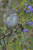 Yellow - rumped Warbler  1