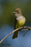Great - Crested Flycatcher   3