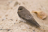 Northern Rough - winged Swallow   6
