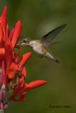 Ruby - throated Hummingbird   7